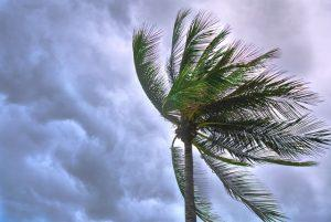 There is a close-up picture of a coconut tree in the wind.